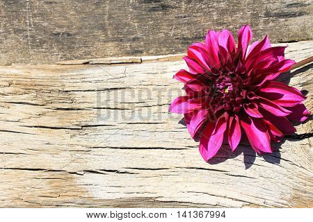 Purple dahlia flower on the wooden background