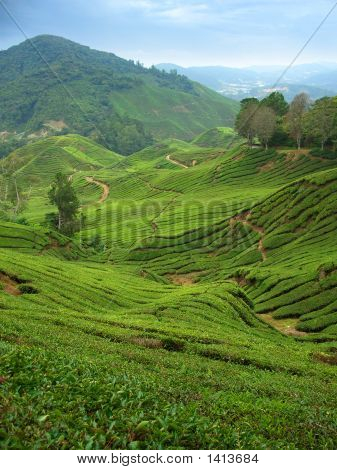 Tea Plantations In Cameron Highlands, Malaysia,Vertical