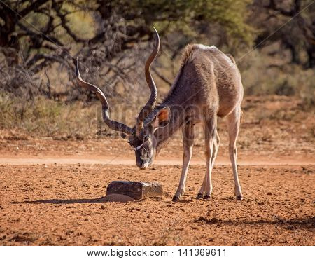 A Kudu bull with a mineral block in Southern African savanna