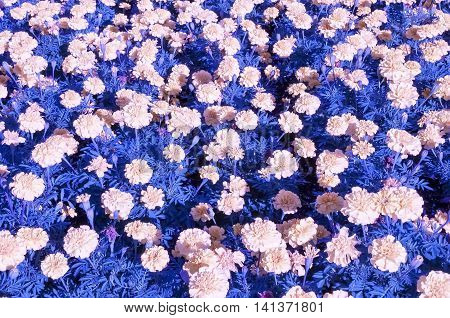Pink annual flowers with blue foilage color shifted for background effect