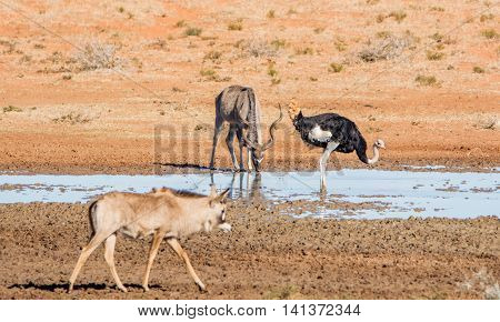 A Kudu bull at a watering hole in Southern African savanna with an Ostrich and a Roan antelope passing by