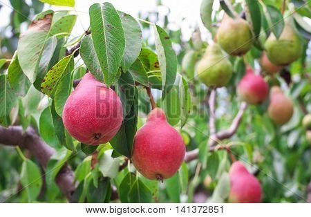 Plenty of pears growing on a pear tree