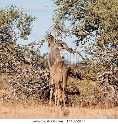 Kudu Bull foraging n Southern African savanna