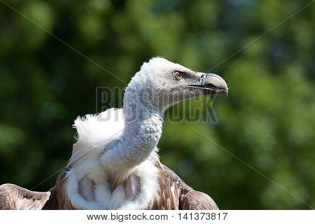 photo portrait of an alert Griffon vulture