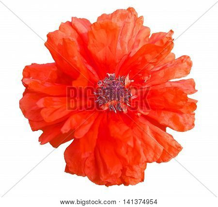 Single beautiful red poppy flower isolated on white background. Close-up.