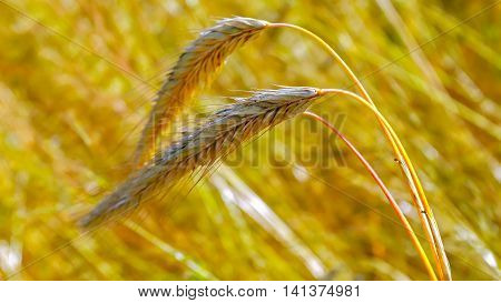 Golden spike a Mature wheat on a background of grain fields.