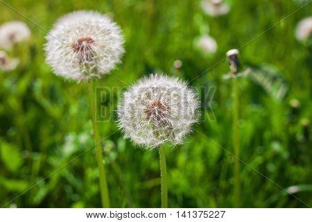 Dandelion Dandelions flower Seeds of dandelion. Composition of nature