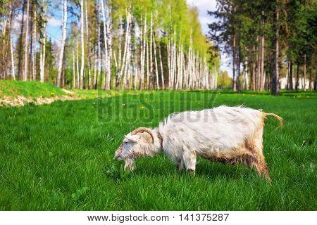 The white goat eats a green grass. White goats feeding on the farm
