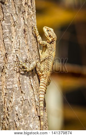 Stellagama stellio - genus desert lizards in the family Agamidae, fauna of Israel