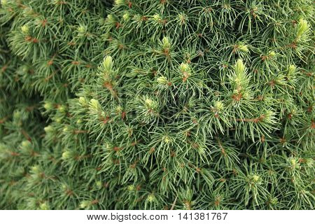 Canadian spruce conic beautiful green tree close-up