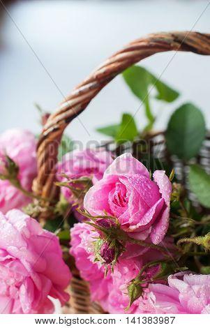 Dog Rose Pink Rosa Canina Flowers Grey Background