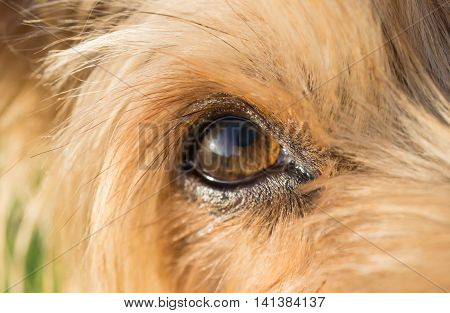 close-up of dog's eye macro detail Yorkshire Terrier brown dog