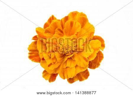 marigold orange flowers on a white background