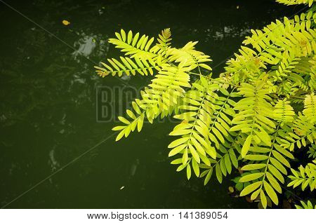 A yellowish green leaves on a plant over a small pond within Tongxiang's Wuzhen Scenic Area in Zhejiang province China.