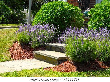 Purple Flowers Purple Summer flowers brighten up a walkway.