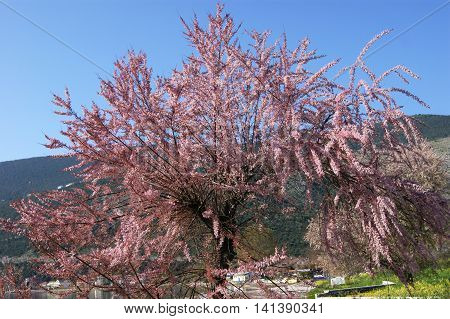 Landscape with blooming pink flowers tree tamarisk