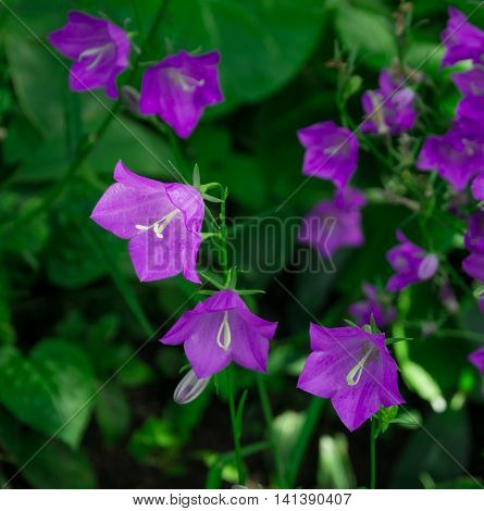 Bellflowers on a green background of a grass