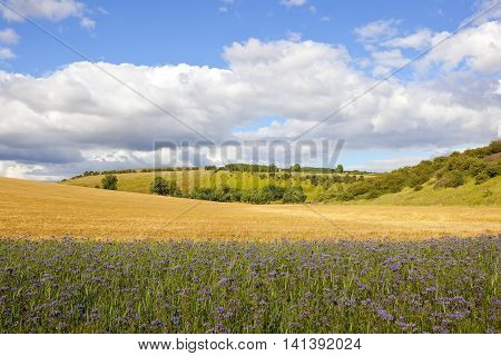 Scenic Phacelia Crop With Barley