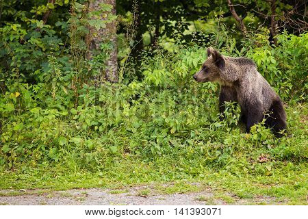 Young Bear Came Out Of The Woods
