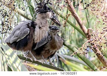 A pair of Boat Billed Night Herons, sitting in a tree among  purple berries appear to laugh at a joke