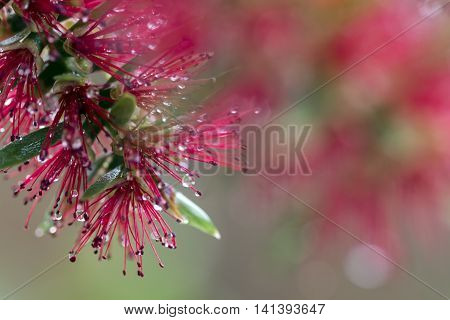 Close up of Red Bottlebrush bloom with raindrops on Bokeh background