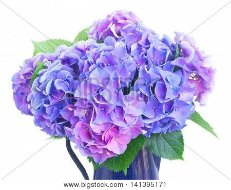 blue and violet hortensia flowers in pot close up isolated on white background