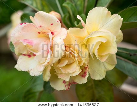 Desert rose flower Desert rose Mock Azalea in national garden