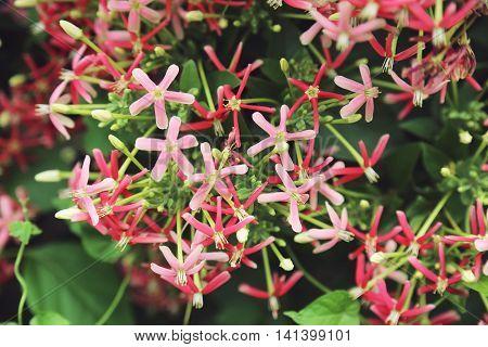 pink flower in Thailandand admired, Pink Bignonia, Desert Rose
