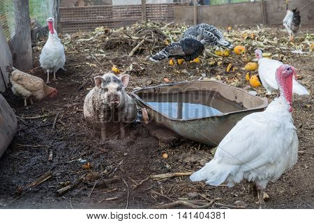 pig sits near the trough in the bird's yard