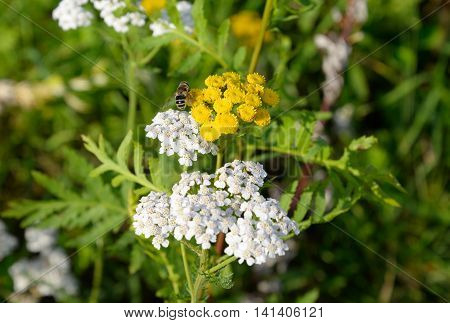 Tansy flower and bee closeup on blurred background.
