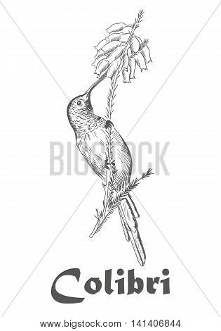 Colibli hand drawn sketch, Hummingbird and flower coloring book for adults vector illustration isolated on white with text