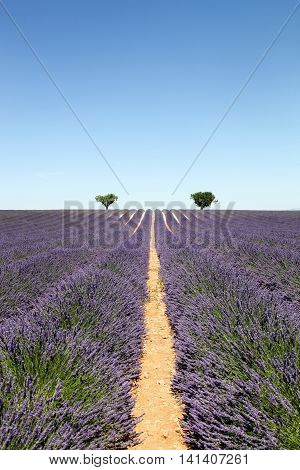Lavender field in Valensole, Sothwestern of France