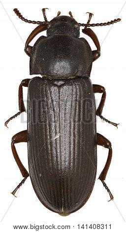 Mealworm Beetle on white Background  -  Tenebrio molitor (Linnaeus, 1758)