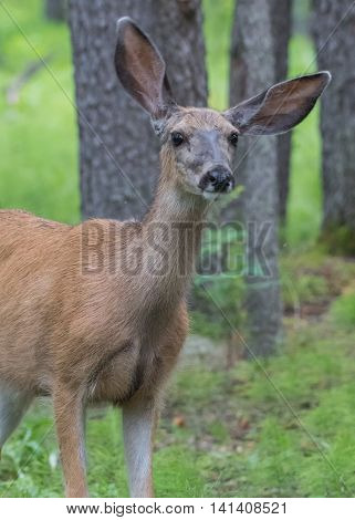 Mule Deer With Cockeyed Ears