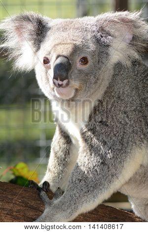 BRISBANE AUSTRALIA - AUGUST 2016: Koala Close Up on August 1 2016 Brisbane Australia.