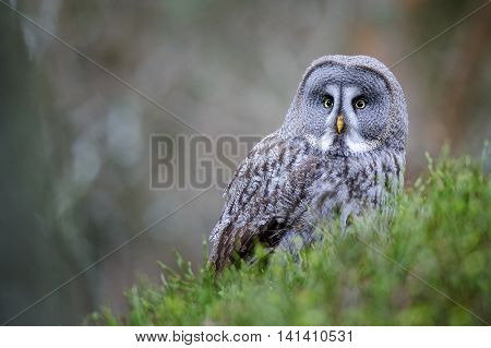 Great grey owl sitting on green ground with blured brown wood background