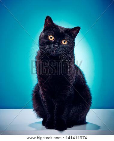 Innocent Black Cat