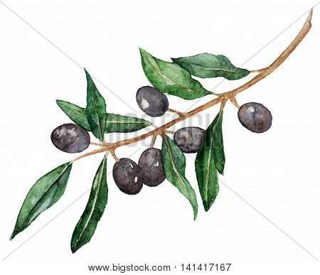 Watercolor olive oliva branch with olives isolated