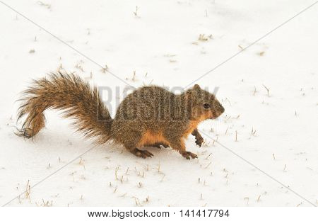 Fox squirrel on frozen snow on a cold winter day
