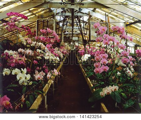 Phalaenopsis orchid hot house with hundreds of potted blooms