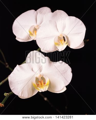 white phalaenopsis orchid spray; multiple flowers with white petals and yellow throats