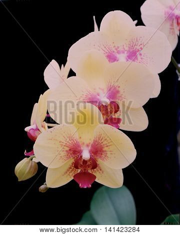 Yellow Phalaenopsis 'Henry Rothman' orchid spray with yellow and magenta petals.