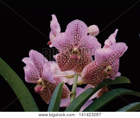 A pink shaded vanda orchid spike with green strap leaves