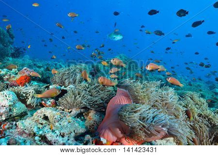 Maldives Anemonefish is endemic speices indian sea