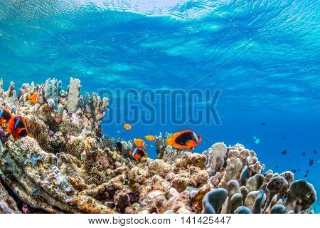 Colony of Anemonefish in