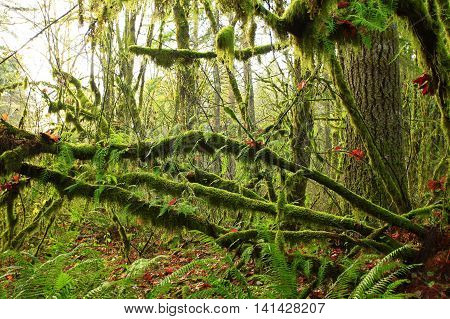 a picture of an exterior Pacific Northwest rainforest tree with ferns and moss in winter