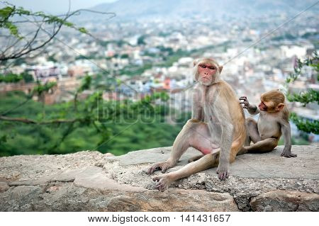 Baby monkey grooming for his mother near Galta Temple Galwar Bagh Monkey Temple in Jaipur India. The temple is famous for large troop of monkeys who live here.