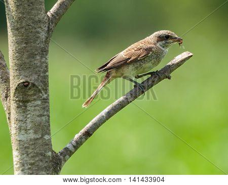 Female Of Red Backed Shrike