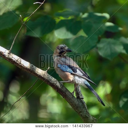Eurasian Jay On A Branch