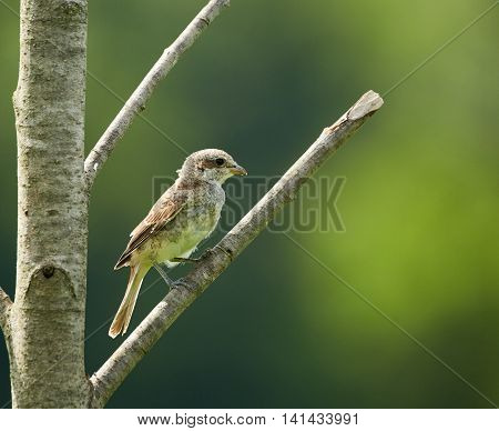 Female Of Red Backed Shrike